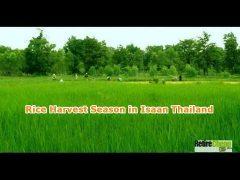 rice-harvest-isaan